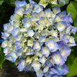 Hydrangea macrophylla BERLIN 'Rabe' (PBR) (City-line Series) (H) Large